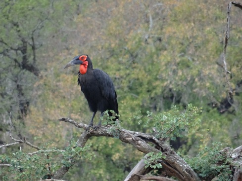 The endangered Southern Ground Hornbill on our Durban 2 Day Safari Tour to Hluhluwe Umfolozi game reserve