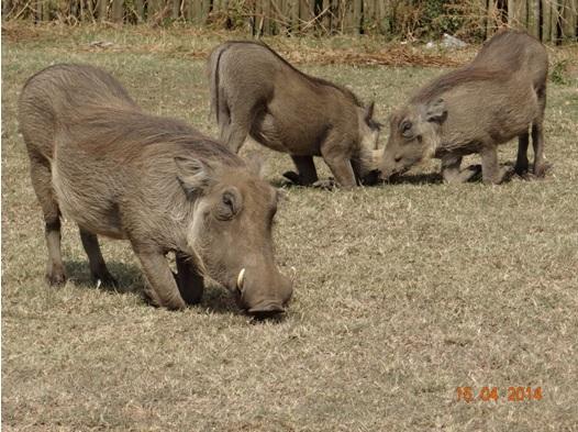 Warthogs grazing on our Durban Day Safari Tour to Tala game reserve