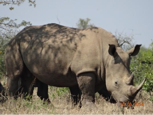 White Rhino on our Easter 2014 Durban Day Safari Tour to Hluhluwe Umfolozi Game reserve