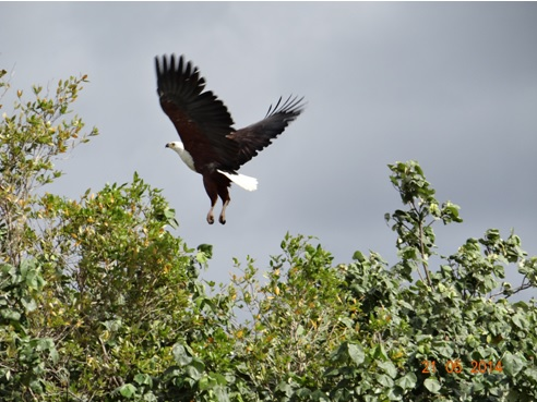 African Fish eagle in Flight on our Durban Day Safari Tour to St Lucia estuary Isimangeliso Wetland Park 21 May 2014