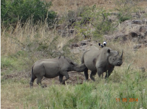 Black Rhino and calf suckling on our 4 day Durban Safari Tour to Hluhluwe Umfolozi game reserve