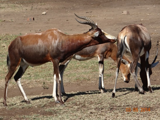 Blessbok Male test a female to see if she is in Season on our Durban Day Safari Tour to Tala private game reserve
