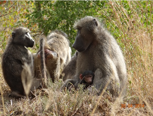 Chacma Baboon holds her child close on our 4 Day Big 5 Durban Safari Tour to Hluhluwe Umfolozi game reserve