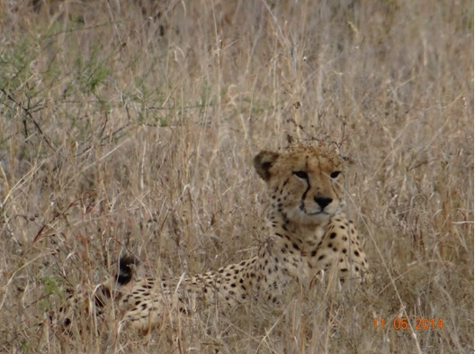 Cheetah Male resting on our 4 day Durban Safari Tour to Hluhluwe Umfolozi game reserve