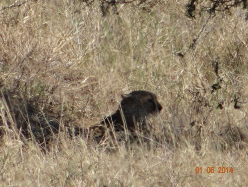 Cheetah rests very close to a big Lioness on our 4 Day Big 5 Durban Safari Tour to Hluhluwe Umfolozi game reserve
