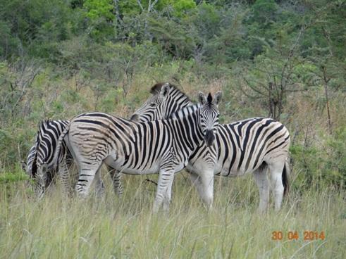 Dazzle of Zebra pose on our 4 Day Big 5 Durban Safari Tour to Hluhluwe Umfolozi game reserve