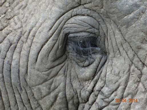 Elephant Eye on our 4 Day Big 5 Durban Safari Tour to Hluhluwe Umfolozi game reserve