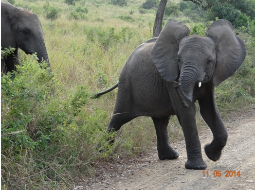 Elephants cross the road in front of our vehicle on our 4 day Durban Safari Tour to Hluhluwe Umfolozi game reserve