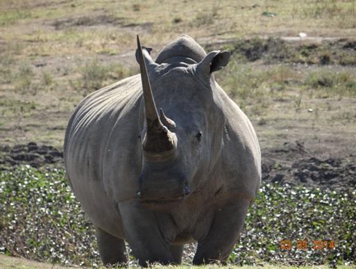 Female White Rhino on our Durban Day Safari Tour to Tala private game reserve