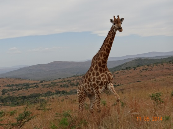 Giraffe climbing the hill on our 4 day Durban Safari Tour to Hluhluwe Umfolozi game reserve