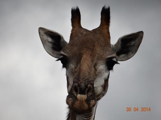 Giraffe poses on our 4 Day Big 5 Durban Safari Tour to Hluhluwe Umfolozi game reserve