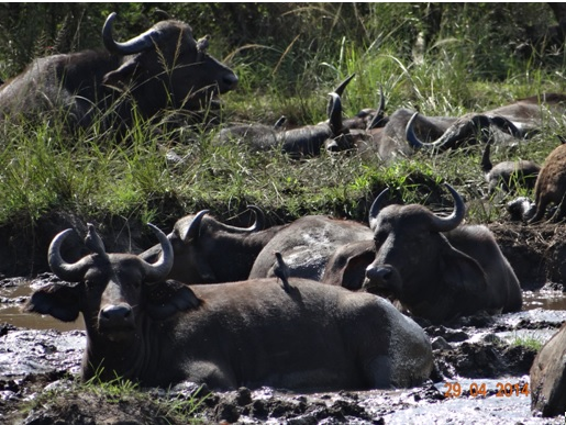 Herd of Buffalo mud wallowing on our 4 Day Big 5 Durban Safari Tour to Hluhluwe Umfolozi game reserve