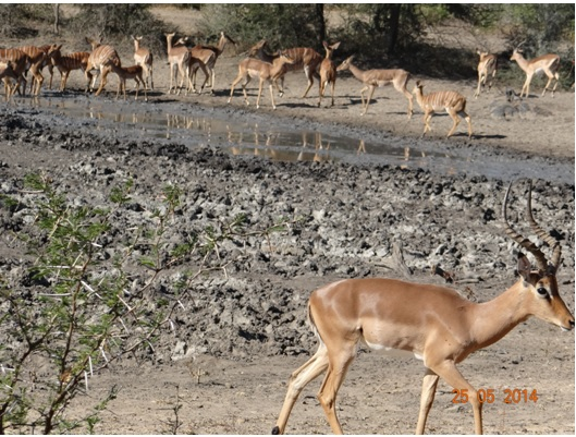 Herd of Impala and Nyala at a watering hole on our 5 Day Hluhluwe Umfolozi Big 5 Safari Tour including St Lucia and Durban