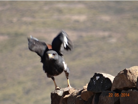 Jackal Buzzard takes off and catches a mouse in Lesotho on our Sani Pass Day Tour from Durban 22 May 2014