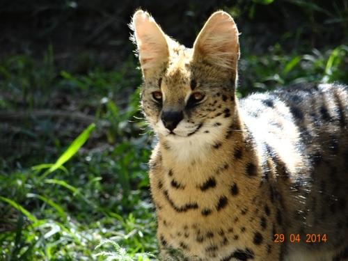 Juvenile Serval at Emdoneni cat rehab centre on our 4 Day Big 5 Durban Safari Tour to Hluhluwe Umfolozi game reserve
