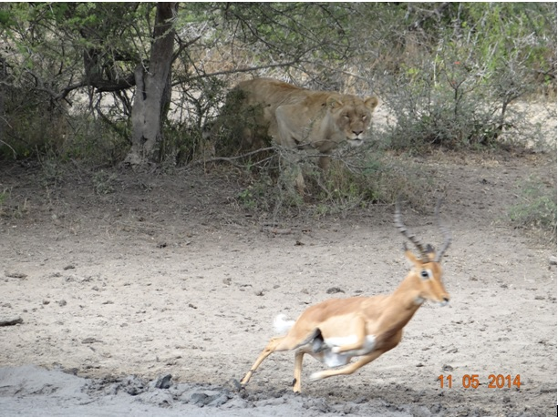 Lioness nearly catches an Impala at Bhejane Hide on our 4 day Durban Safari Tour to Hluhluwe Umfolozi game reserve