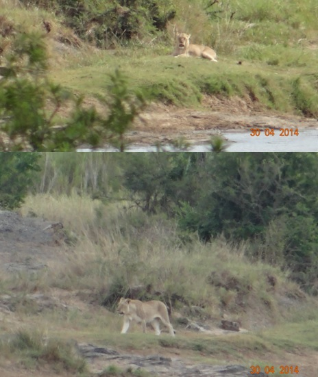 Lioness on our 4 Day Big 5 Durban Safari Tour to Hluhluwe Umfolozi game reserve