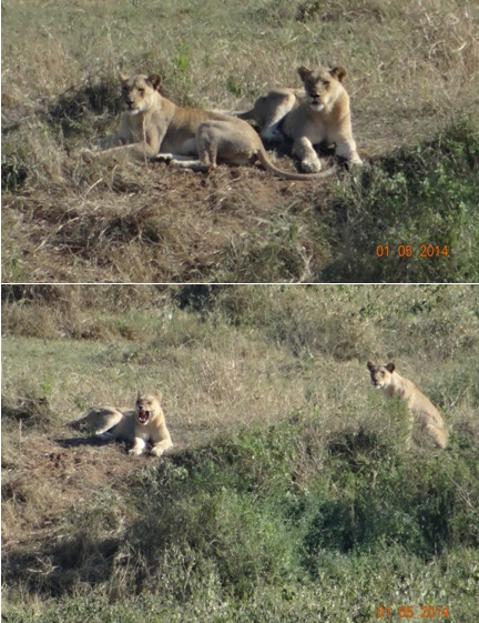 Lionesses resting on the sand bank of the Umfolozi River on our 4 Day Big 5 Durban Safari Tour to Hluhluwe Umfolozi game reserve