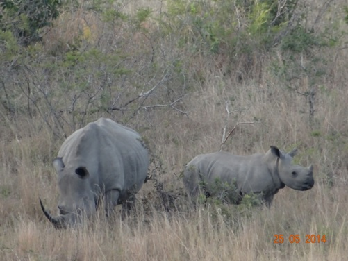 Mother and Calf white Rhino on our 5 Day Hluhluwe Umfolozi Big 5 Safari Tour including St Lucia and Durban