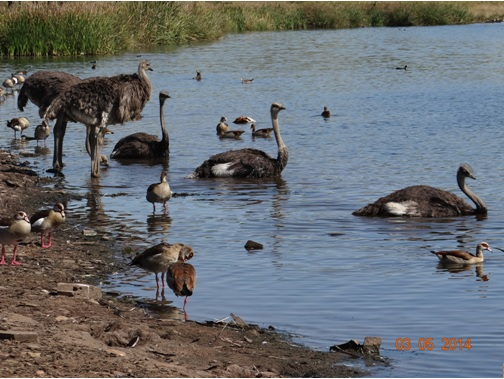 Ostriches cool off in the Water on our Durban Day Safari Tour to Tala private game reserve