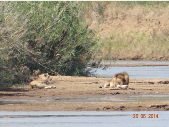 Pride of Lions with young cubs resting in the Umfolozi river on our 5 Day Hluhluwe Umfolozi Big 5 Safari Tour including St Lucia and Durban