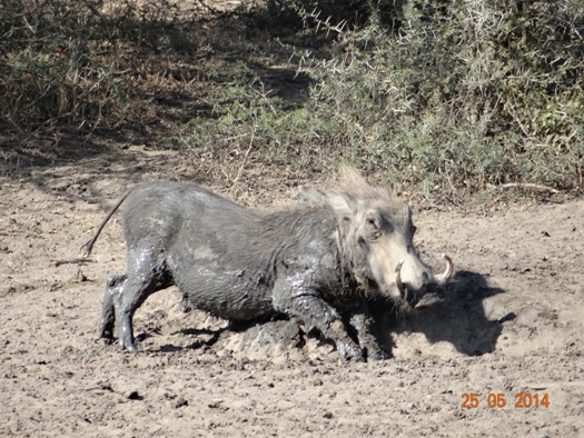 Warthog rubs herself after a mud wallow on our 5 Day Hluhluwe Umfolozi Big 5 Safari Tour including St Lucia and Durban