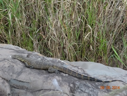 Water Monitor lizard relaxing on a rock on our 4 day Durban Safari Tour to Hluhluwe Umfolozi game reserve