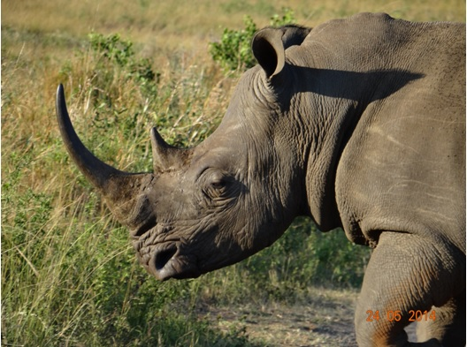 White Rhino walking across the road on our 5 Day Hluhluwe Umfolozi Big 5 Safari Tour including St Lucia and Durban