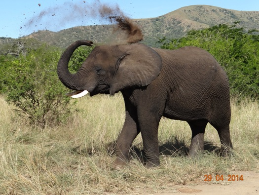 Young Bull Elephant take a Dust Bath on our 4 Day Big 5 Durban Safari Tour to Hluhluwe Umfolozi game reserve