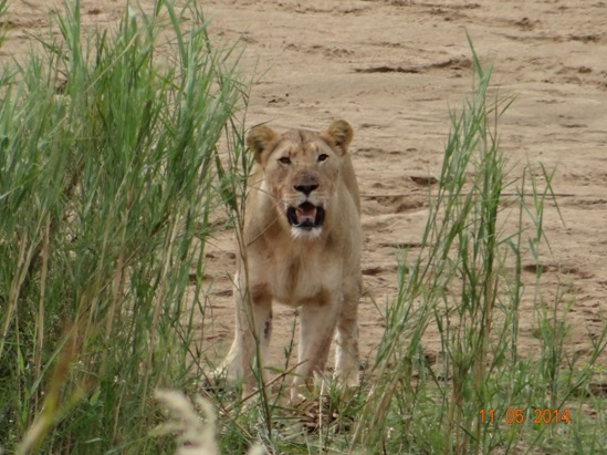 Young Lioness in the reeds with a kill on our 4 day Durban Safari Tour to Hluhluwe Umfolozi game reserve