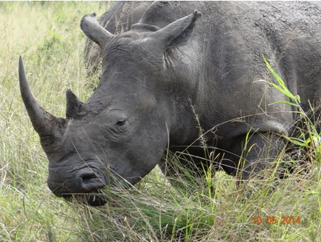 Young female Rhino close to the road on our 4 day Durban Safari Tour to Hluhluwe Umfolozi game reserve