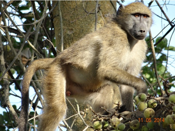 Young male Baboon eating figs on our 4 day Durban Safari Tour to Hluhluwe Umfolozi game reserve