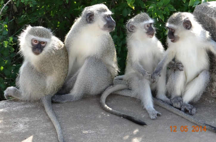 Young vervet monkeys play on our 4 day Durban Safari Tour to Hluhluwe Umfolozi game reserve