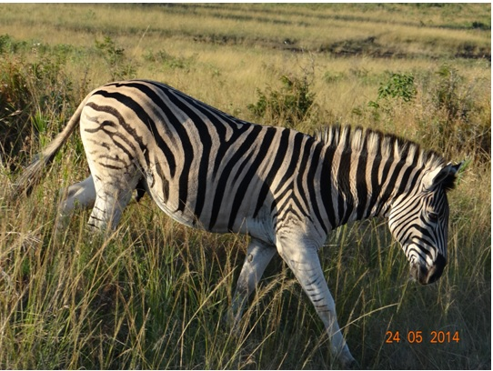 Zebra crossing on our 5 Day Hluhluwe Umfolozi Big 5 Safari Tour including St Lucia and Durban