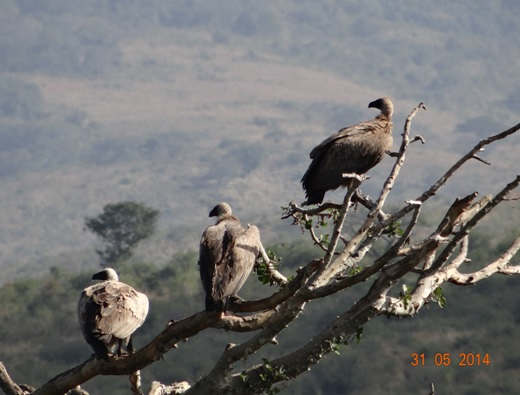 3 White backed Vultures roosting on our Hluhluwe Umfolozi Day Safari Tour from Durban 31 May 2014