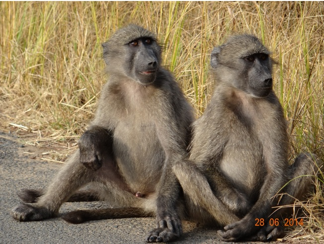 Baboon on our way out of Umfolozi on our Durban Big 5 Private Day Safari Tour to Hluhluwe Umfolozi Big 5 Game reserve 28th June 2014