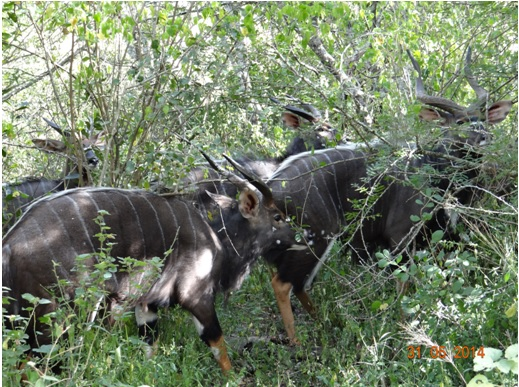 Bachelor herd of Nyala on our Hluhluwe Umfolozi Day Safari Tour from Durban 31 May 2014