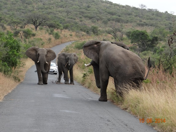 Big bull ellie old hop along and 2 other males face off on our Hluhluwe Umfolozi Big 5 and 3 Day Safari Tour from Durban
