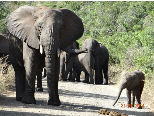 Breeding herd of Elephant block the road on our Hluhluwe Umfolozi Day Safari Tour from Durban 31 May 2014