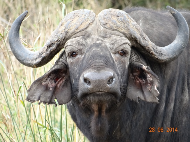 Buffalo Bull and Calf on our Durban Big 5 Private Day Safari Tour to Hluhluwe Umfolozi Big 5 Game reserve 28th June 2014
