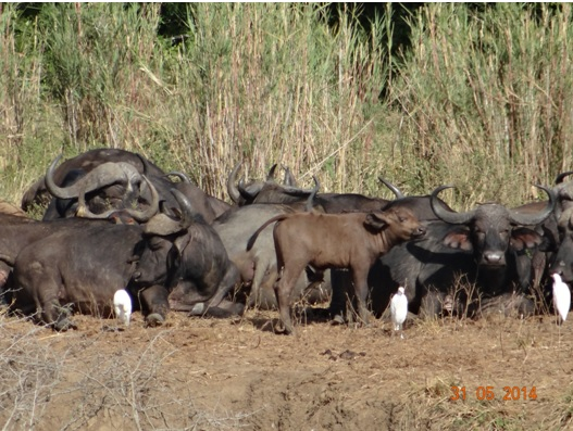 Buffalo herd rest on the banks of the Hluhluwe River on our Hluhluwe Umfolozi Day Safari Tour from Durban 31 May 2014