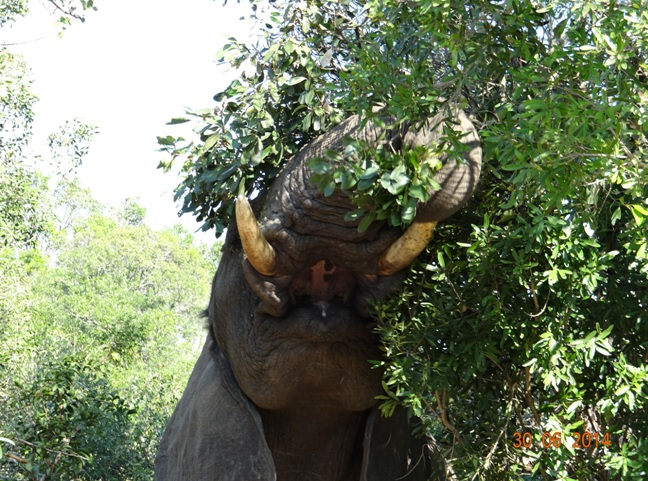 Bull Elephant reaches for leaves on our Durban Big 5 Private 3 Day Safari Tour to Hluhluwe Umfolozi Big 5 Game reserve 29 June to 1 July 2014