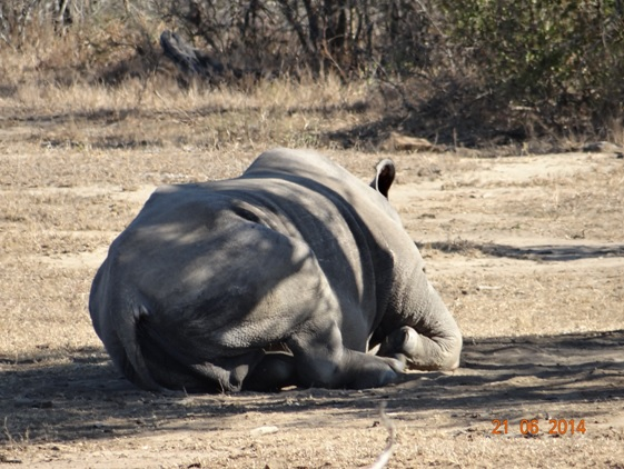 Bum of a White Rhino on our Durban Big 5 Day Safari Tour to Hluhluwe Umfolozi Big 5 Game reserve 21st June 2014
