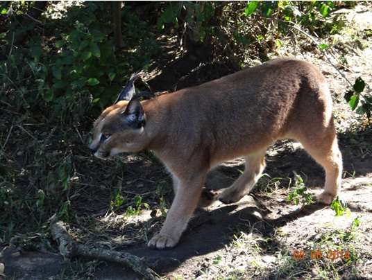 Caracal on our Hluhluwe Umfolozi Big 5 and 3 Day Safari Tour from Durban