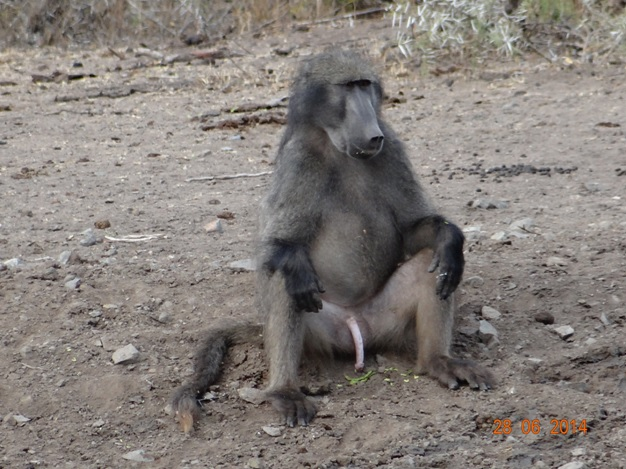 Chacma Baboon after intercourse on our Durban Big 5 Private Day Safari Tour to Hluhluwe Umfolozi Big 5 Game reserve 28th June 2014