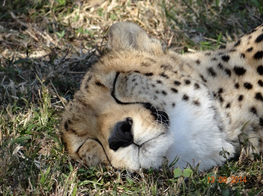 Cheetah at Emdoneni on our 2 Day Big5 Durban Safari Tour to Hluhluwe Umfolozi Game reserve and St lucia Isimangeliso Wetland park 13th to 14th June 2014