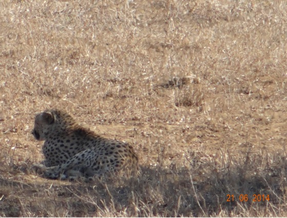 Cheetah resting in the distance on our Durban Big 5 Day Safari Tour to Hluhluwe Umfolozi Big 5 Game reserve 21st June 2014