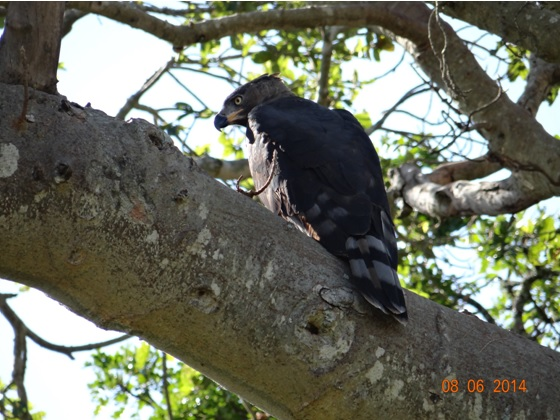 Crowned eagle on our Hluhluwe Umfolozi Big 5 and 3 Day Safari Tour from Durban
