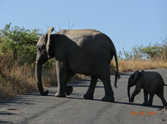 Elephant mother and baby cross road on our Hluhluwe Umfolozi Big 5 and 3 Day Safari Tour from Durban