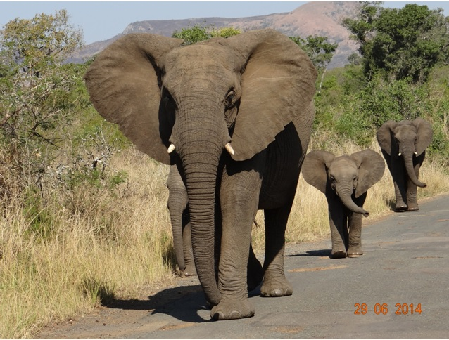 Elephants on our Durban Big 5 Private 3 Day Safari Tour to Hluhluwe Umfolozi Big 5 Game reserve 29 June to 1 July 2014